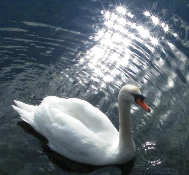 sparkling-swan3