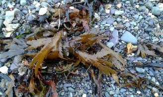 Lisheen beach seaweed