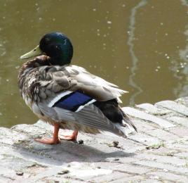 Water Fowl 5
