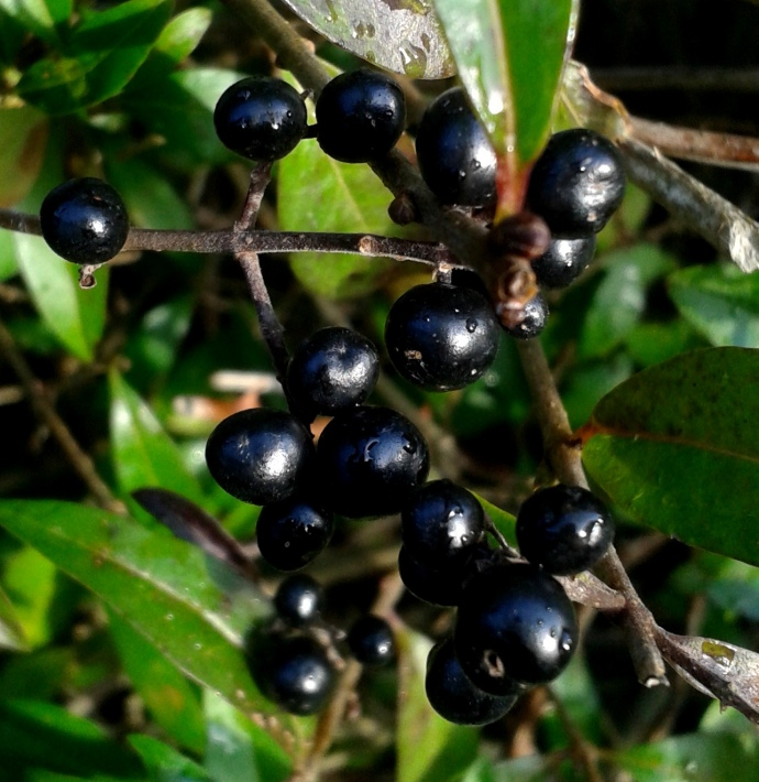 Berries of the Privet