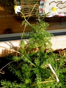 Dill or Fennel?