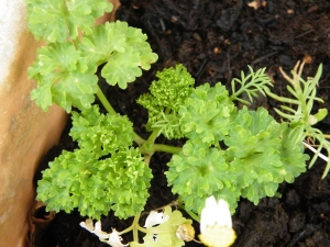 Young Parsley plant window sill over winter