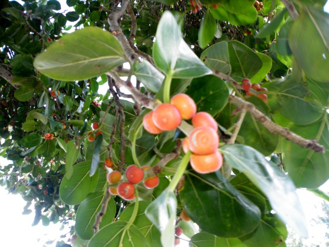 Fruit tree Mauritius