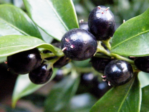 Sarcococca confusa or Sweet Box