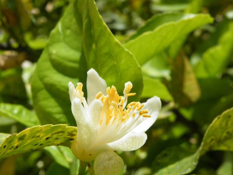 Blossom of the lemon tree