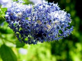 Ceanothus (or Californian lilac)