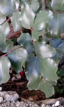 Carrob tree
