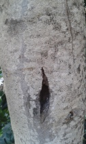 Carrob tree bark