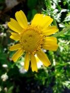 Glebionis Coronaria - Crown daisy - Lellux