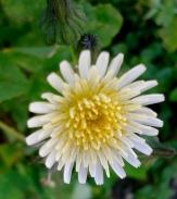 Sonchus Asper - Prickly sow thistle - Tfief car