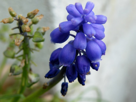 And lovely Muscari - grape Hyacinth