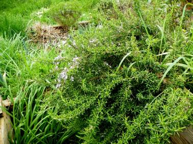 Rosmarinus officinalis - Rosemary