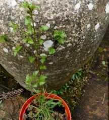 A young silver Birch tree came to grow in the garden