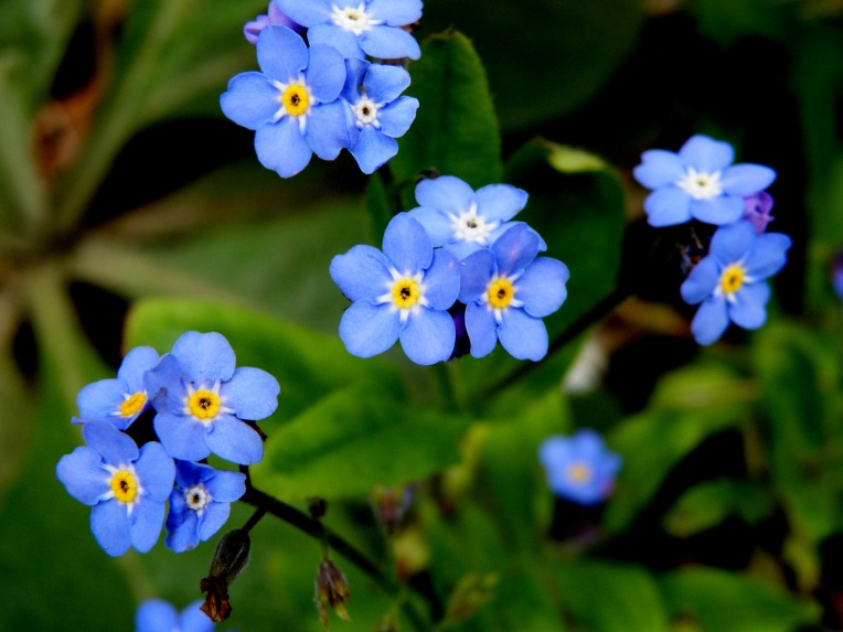 Forget-me-nots in flower
