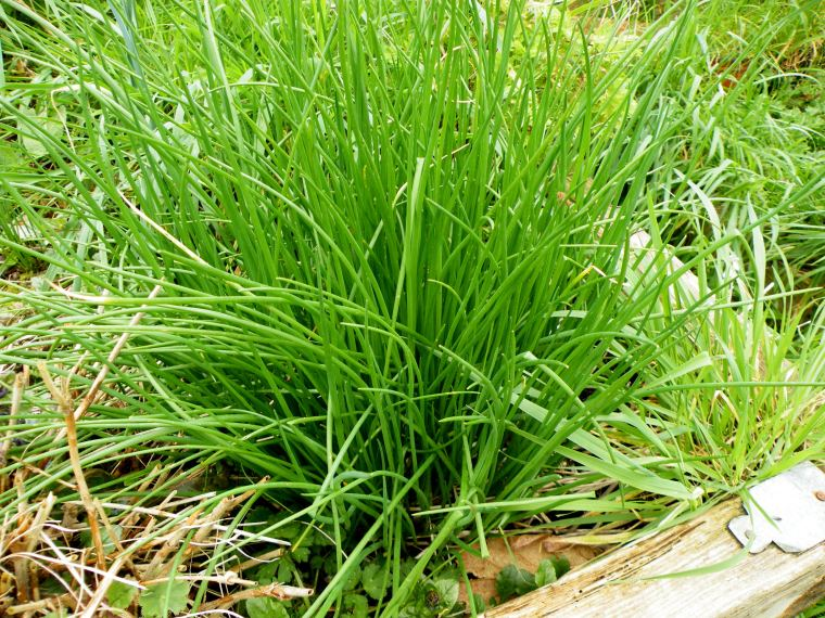 Chives looking great and ready to use