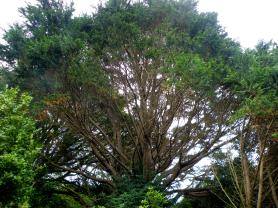 Could be the Cypressus macrocarpa -