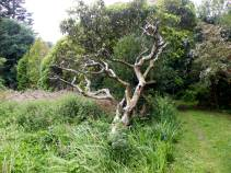 Quercus suber - Cork tree