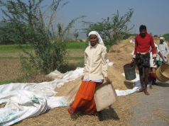 Harvesting the rice under a very hot sun