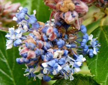 Ceanothus arboreus flower