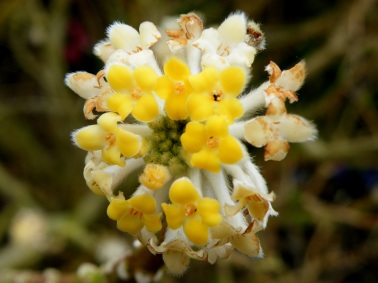 Edgeworthia chrysantha flower